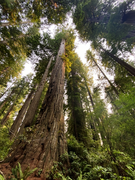 Coastal Redwoods.  Lady  Bird Johnson GroveTrail.