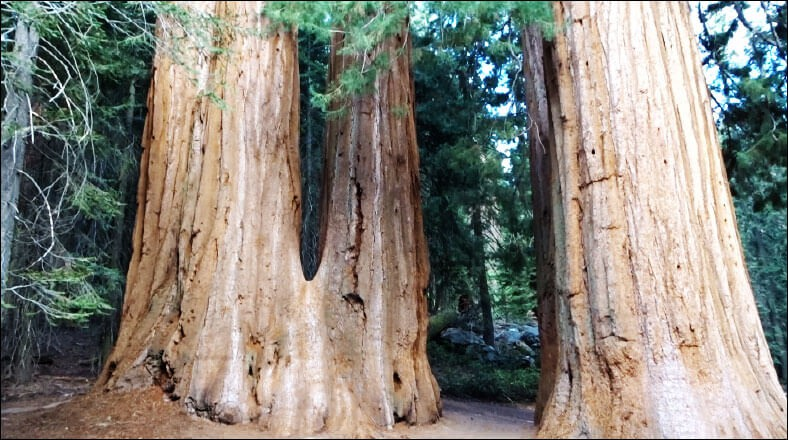 Lost Grove - Sequoia & Kings Canyon National Park.