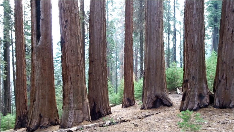 Redwood Canyon Grove.  Sequoia National Park