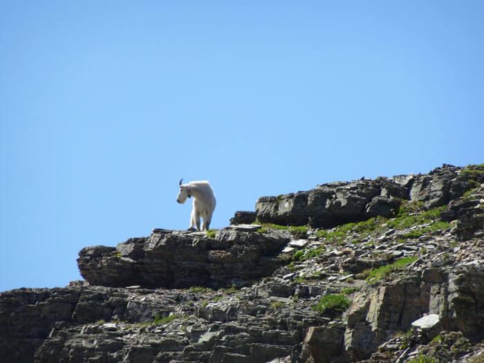 Wild Mountain Goat. Glacier National Park